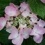 Hydrangea macrophylla Frisbee (3)