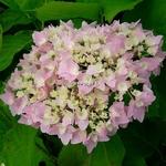 Hydrangea macrophylla Frillibet