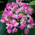 Hydrangea macrophylla Hopcorn