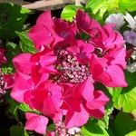 Hydrangea macrophylla Kardinal (1)