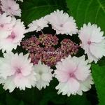 Hydrangea macrophylla Koria