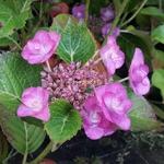 Hydrangea macrophylla Mikawa-yae (2)