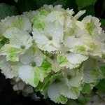 Hydrangea macrophylla Noblesse