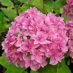 Hydrangea macrophylla Perfection (1)
