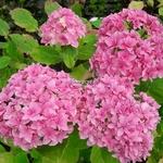 Hydrangea macrophylla Perfection (2)
