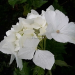 Hydrangea macrophylla Pirouette (2)