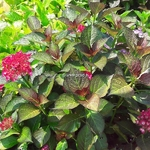 Hydrangea macrophylla Red Angel (1)