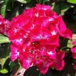 Hydrangea macrophylla Red Angel (2)