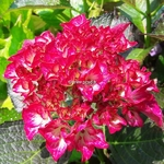 Hydrangea macrophylla Red Angel (3)