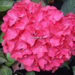 Hydrangea macrophylla Red Angel (4)