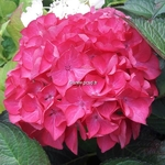 Hydrangea macrophylla Red Angel (5)
