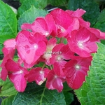 Hydrangea macrophylla Red Beauty