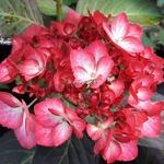 Hydrangea macrophylla Ripple (1)