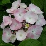 Hydrangea macrophylla Sweet Dream (2)