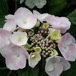 Hydrangea macrophylla Sweet Dream (3)