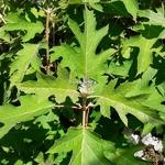 Hydrangea quercifolia Ice Crystal (2)