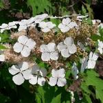 Hydrangea quercifolia Ice Crystal (3)