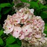 Hydrangea serrata Akishino Temari