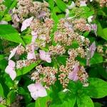 Hydrangea serrata Diadem (1)