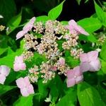 Hydrangea serrata Diadem (3)