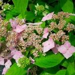 Hydrangea serrata Diadem (2)