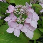 Hydrangea serrata Diadem (5)