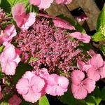 Hydrangea serrata Klaveren (1)