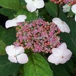 Hydrangea serrata Oamacha (2)