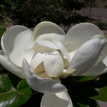 Magnolia grandiflora François Treyve (2)