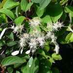 Schizophragma integrifolium Windmills (2)