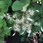 Schizophragma integrifolium Windmills (3)