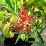Callistemon Mini Red (1)