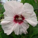 Hibiscus moscheutos Cherry Cheesecake (1)