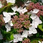 Hydrangea macrophylla Cloudy (1)