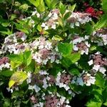 Hydrangea macrophylla Cloudy (3)