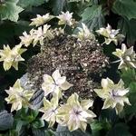 Hydrangea macrophylla Doppio Azuro (1)