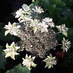Hydrangea macrophylla Doppio Azuro (2)