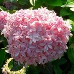 Hydrangea macrophylla Inspire