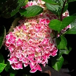 Hydrangea macrophylla Lady Noriko (3)