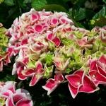 Hydrangea macrophylla Lady Noriko (1)