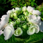 Hydrangea macrophylla Mucke (2)