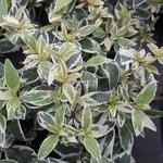 Abelia grandiflora Stereden (4)