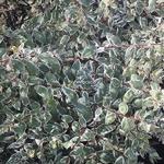 Abelia grandiflora Stereden (1)