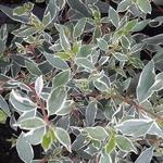 Abelia grandiflora Stereden (3)