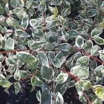 Abelia grandiflora Stereden (2)