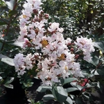 Lagerstroemia indica Rhapsody in Pink
