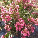 Lagerstroemia indica Pink All the Best (2)