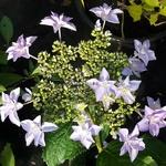 Hydrangea macrophylla Doppio (2)