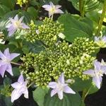 Hydrangea macrophylla Doppio