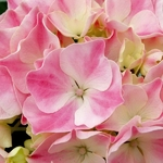 Hydrangea macrophylla La Vie en Rose